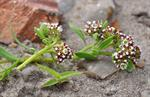 Strapwort (Corrigiola litoralis)